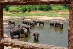 Herde von den Elefanten, die in Maha Oya River baden Pinnawala Elefantwaisenhaus Sri Lanka Stockfotos