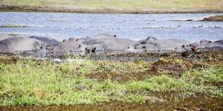 Herde von den Flusspferden, die im Sun sich aalen Lizenzfreie Stockfotografie