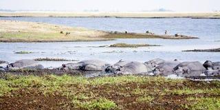 Herde von den Flusspferden, die im Sun sich aalen Stockfoto
