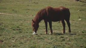 Herde von den freien Pferden, die auf grüner Weide, Kiefernwald auf Hintergrund weiden lassen Weiße und braune Pferde lassen auf  stock video