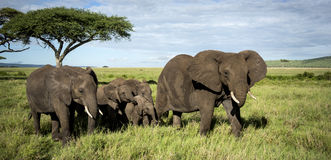 Herde von den gehenden Elefanten, Serengeti Stockbilder
