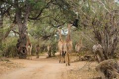 Herde von den Giraffen, die auf Schotterstraße von Kruger-Park gehen stockbild