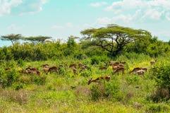 Herde von den Impalen, die in den Savannenwiesen von Samburu-Park weiden lassen lizenzfreies stockfoto