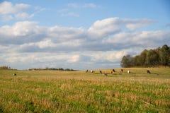 Herde von den Kühen, die auf dem Gebiet durch Wald weiden lassen Lizenzfreie Stockbilder