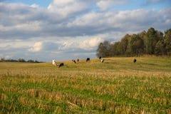 Herde von den Kühen, die auf dem Gebiet durch Wald weiden lassen Stockbilder