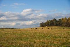 Herde von den Kühen, die auf dem Gebiet durch Wald weiden lassen Stockfotos