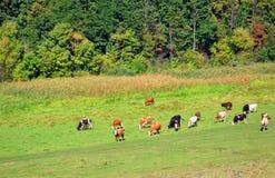 Herde von den Kühen, die auf einem Gebiet weiden lassen Lizenzfreies Stockbild