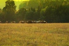 Herde von den Kühen, die auf einem Gebiet weiden lassen Lizenzfreie Stockfotos