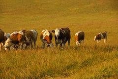 Herde von den Kühen, die auf einem Gebiet weiden lassen Stockbild