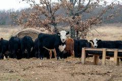 Herde von den Kühen, die auf Heu auf einer Ranch in Oklahoma weiden lassen lizenzfreie stockbilder