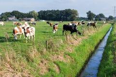 Herde von den Kühen, die in der niederländischen Wiese weiden lassen Stockfotos