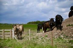 Herde von den Kühen, die drastisch schauen lizenzfreies stockbild