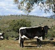 Herde von den Kühen und von weißen und schwarzen Stieren, die zwischen Eichen weiden lassen Stockbilder