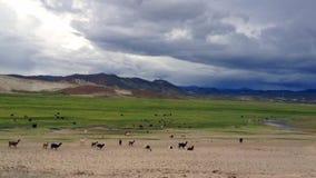 Herde von den Lamas, die auf altiplano in Bolivien laufen stock video