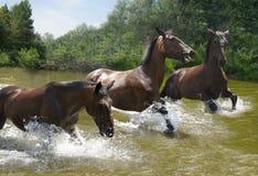 Herde von den Pferden, die auf das Wasser galoppieren stockbilder