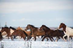 Herde von den Pferden, die auf dem Schneefeld laufen Stockbilder