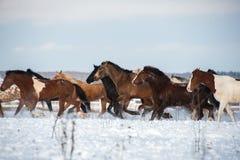 Herde von den Pferden, die auf dem Schneefeld laufen Lizenzfreie Stockfotografie