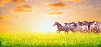 Herde von den Pferden, die auf sonniger Sommerweide über Sonnenunterganghimmel, Fahne für Website laufen