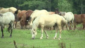 Herde von den Pferden, die auf Weide, Zuchtpferde, Pferdebauernhof und die Landwirtschaft gehen stock footage