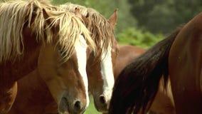 Herde von den Pferden, die auf Weide, Zuchtpferde, Pferdebauernhof und die Landwirtschaft gehen stock video