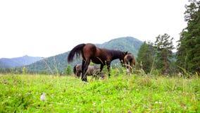 Herde von den Pferden, die in den Bergen weiden lassen stock video footage