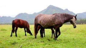 Herde von den Pferden, die in den Bergen weiden lassen stock footage