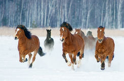 Herde von den Pferden, die durch einen schneebedeckten Feldgalopp laufen Stockbild