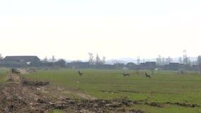 Herde von den Rehen laufen gelassen durch Feld stock video