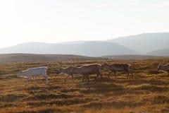 Herde von den Renen, die in Wildnis gehen Stockfoto