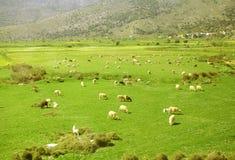 Herde von den Schafen, die in den Bergen auf Wiese weiden lassen Lizenzfreie Stockfotos