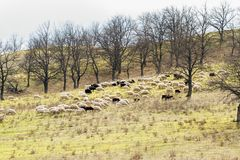 Herde von den Schafen, die in der Wiese im Vorfrühling weiden lassen Auf Berg vor dem hintergrund des Waldes von bloßen Bäumen Stockbilder