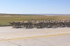 Herde von den Schafen, die Downa-Straße im Patagonia vorangehen Stockfoto
