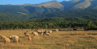 Herde von den Schafen, die in einer Wiese im Kaukasus weiden lassen Stockfoto