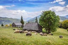 Herde von den Schafen, die hoch in den Herbstbergen weiden lassen lizenzfreies stockfoto