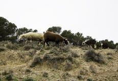 Herde von den Schafen markiert stockfotos