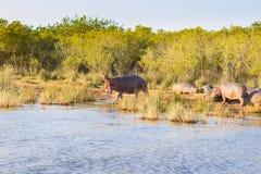 Herde von den schlafenden Flusspferden, Isimangaliso-Sumpfgebiet-Park, Südafrika lizenzfreie stockfotos