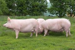 Herde von den Schweinen, die an Bio-eco Farm der Tiere weiden lassen Lizenzfreie Stockfotografie
