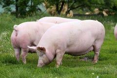 Herde von den Schweinen, die an Bio-eco Farm der Tiere weiden lassen Stockfotografie
