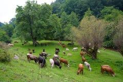 Herde von den Stieren, von Kühen und von Kälbern, die in der Wiese mit frischem Gras weiden lassen ranch stockbild