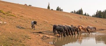 Herde von den wilden Pferden, die in den Staaten an der Wasserstelle in der Pryor-Gebirgswildes Pferdestrecke Wyomings und Montan Stockfotos