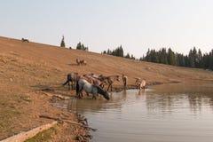 Herde von den wilden Pferden, die in den Staaten an der Wasserstelle in der Pryor-Gebirgswildes Pferdestrecke Wyomings und Montan Stockfotografie