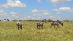 Herde von den Zebras, die in der Savanne bei Afrika weiden lassen stock video footage