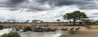 Herde von den Zebras, die durch einen Fluss, Serengeti, Tansania, Afrika stillstehen stockfotografie
