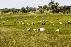 Herde von den Ziegen, die im Gewann weiden lassen stockbild