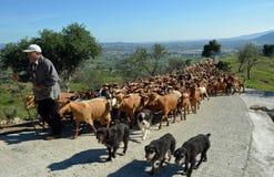 Herde von den Ziegen, die Straße blockieren Lizenzfreie Stockfotografie