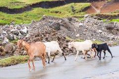 Herde von den Ziegen, welche die Straße bei Batanes, Philippinen kreuzen lizenzfreies stockfoto