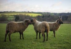 Herde von die Shetlandinseln-Schafen Lizenzfreie Stockfotografie