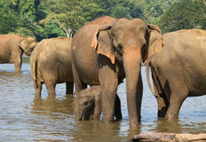 Herde von Elefanten im Fluss Lizenzfreie Stockfotos