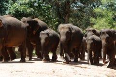 Herde von Elefanten im nationalen Naturschutzgebiet Pinawella Stockfotografie