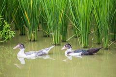 Herde von Enten im Becken auf dem Reisfeld im Land von Thail Lizenzfreie Stockfotos